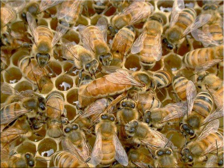 Primera Inseminación de Abejas Reinas para Conservar Especie en Chile