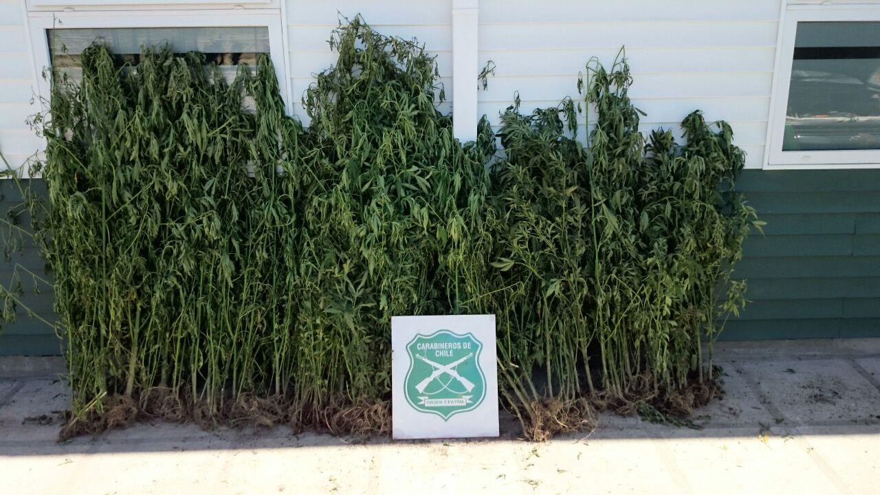 Carabineros Decomisa Plantas de Marihuana en Comalle
