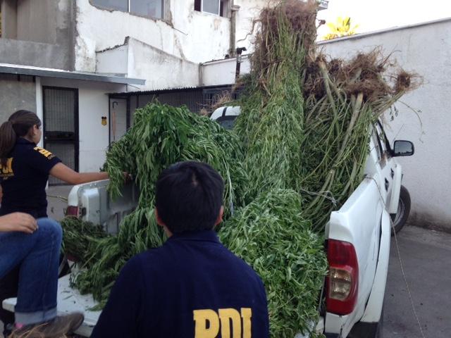 Millonaria incautación de la PDI en Plantas de Marihuana en la Región del Maule