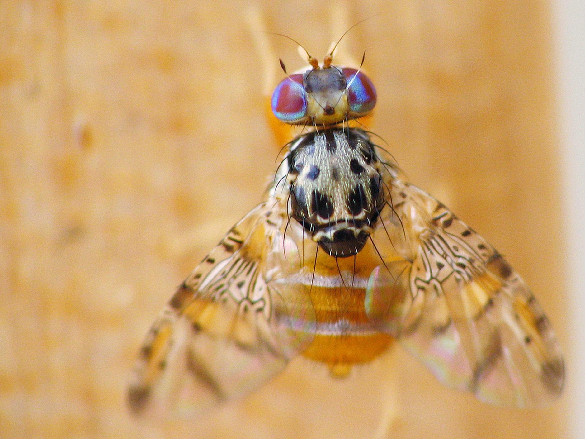 Alerta por aparición de la mosca del mediterráneo