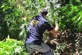Millonaria incautación de plantas de Marihuana se realiza en Teno