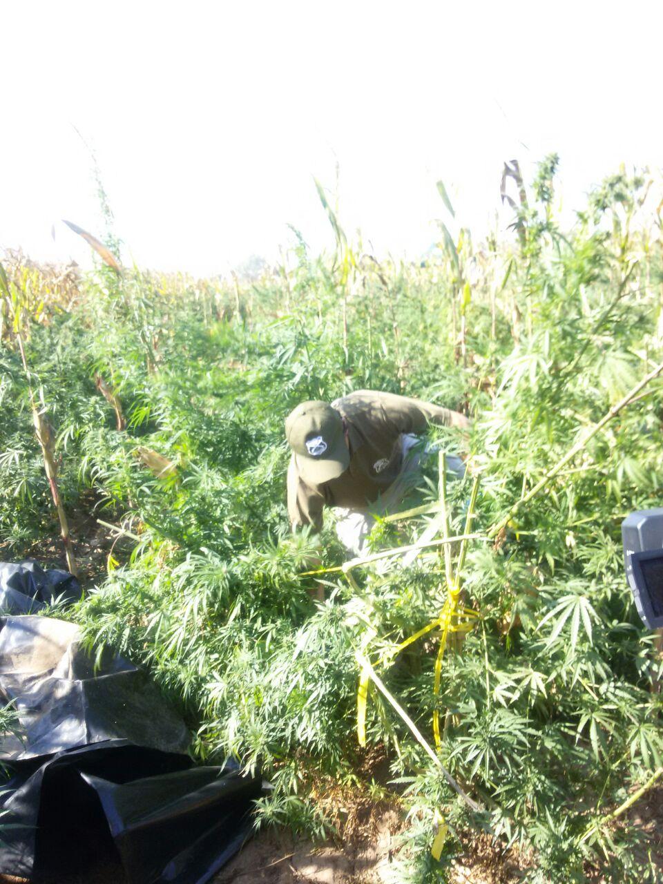 OS-7 de Carabineros realiza millonaria incautación de marihuana en Pelarco