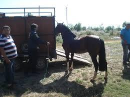 PDI recupera caballo avaluado en más de 30 millones de pesos
