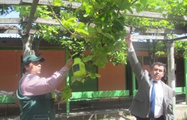 Lanzan programa de control urbano de la Lobesia Botrana