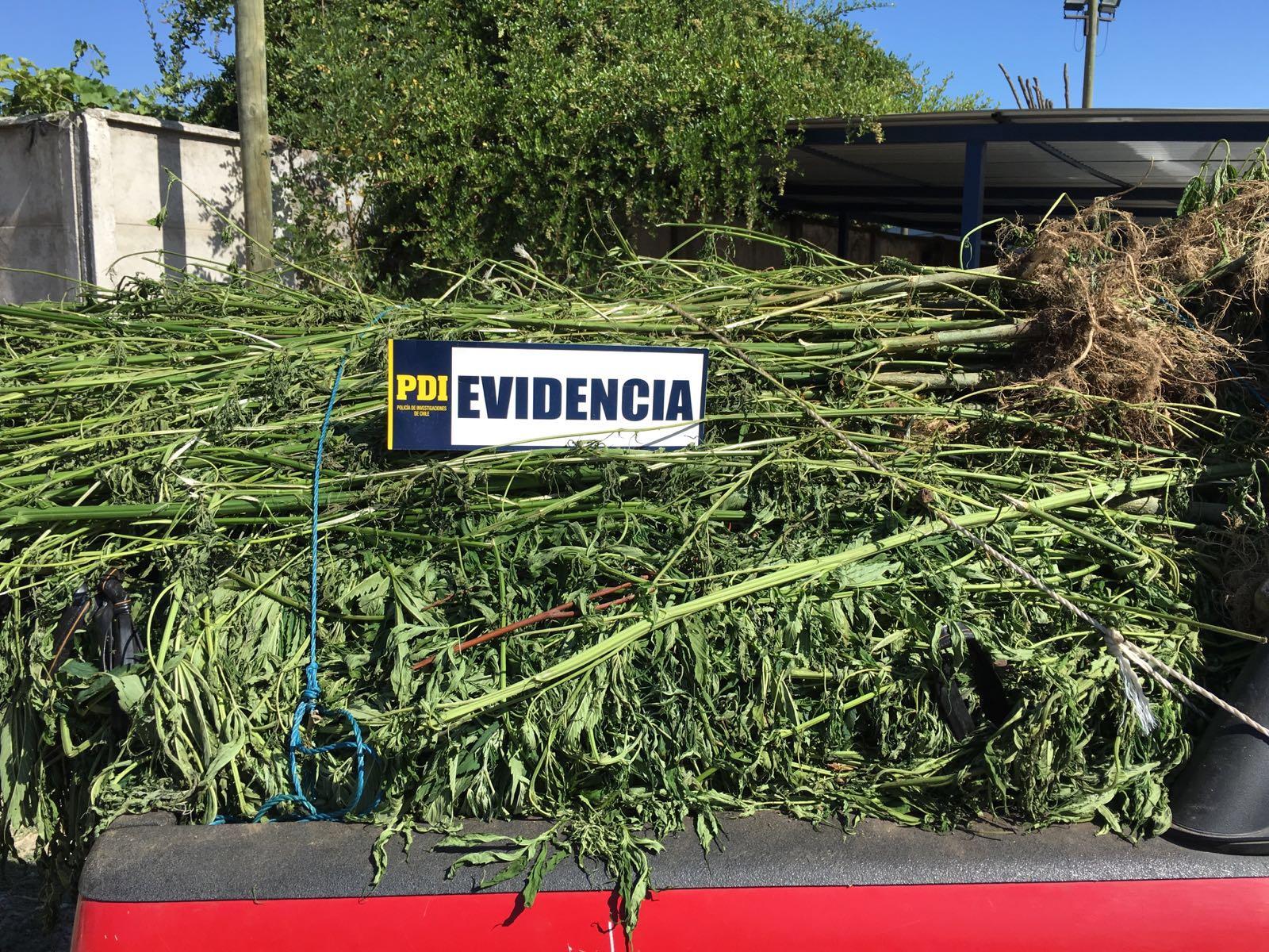 PDI incautó más de 7 mil plantas y 18 kilos de marihuana en el Maule