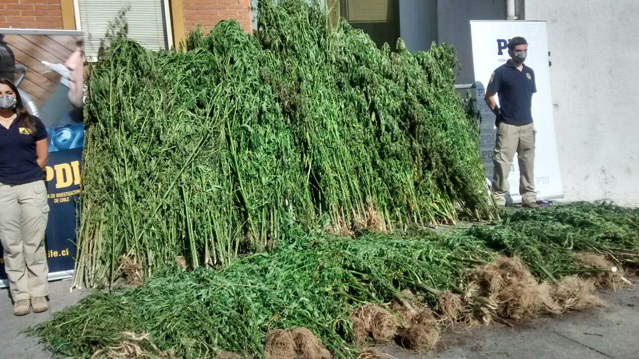 La PDI de Talca, incauta más de 5 mil plantas de Marihuana en San Rafael y Camarico.