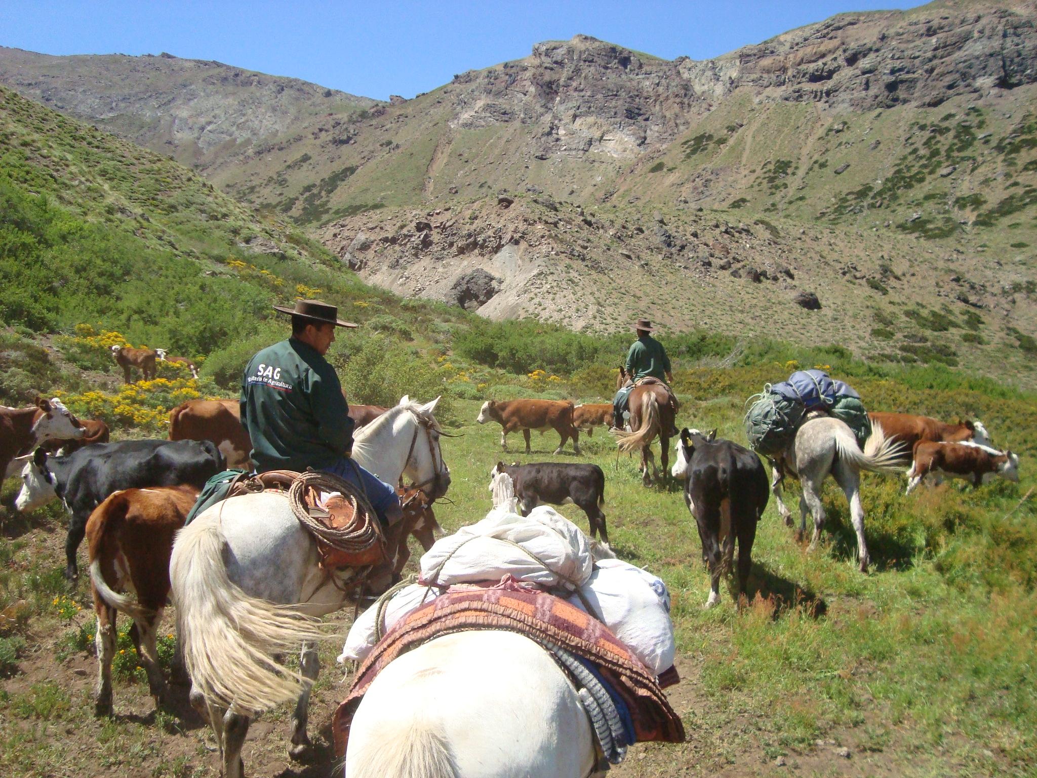 52 mil animales se encuentran en las veranadas en la Provincia de Linares