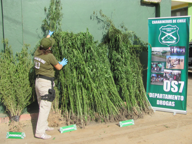 OS-7 de Carabineros de Talca, incauta dos cultivos de Marihuana en Comalle.