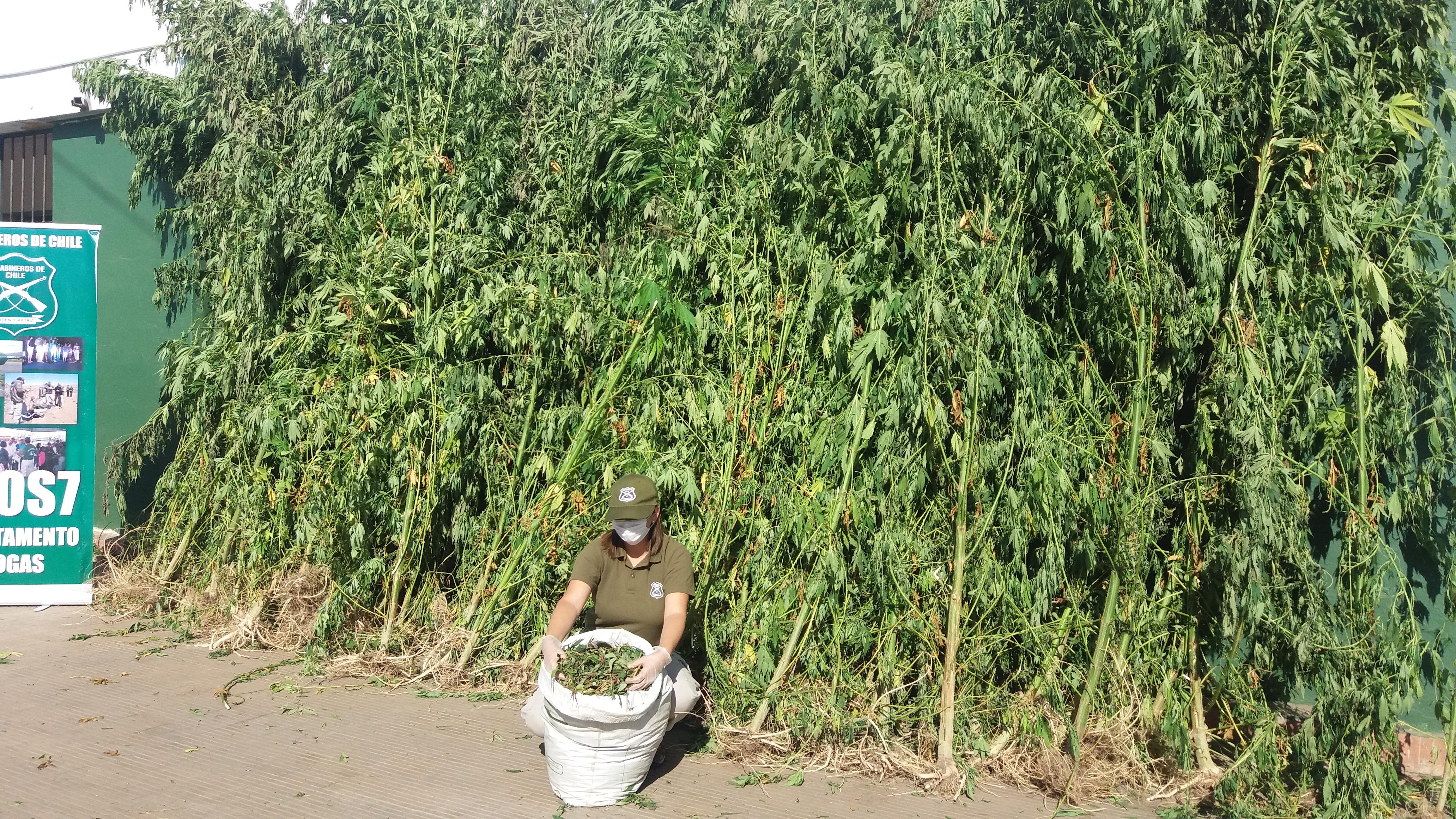 OS-7 de Carabineros de Talca, decomisa marihuana avaluada en más de 80 millones de pesos.