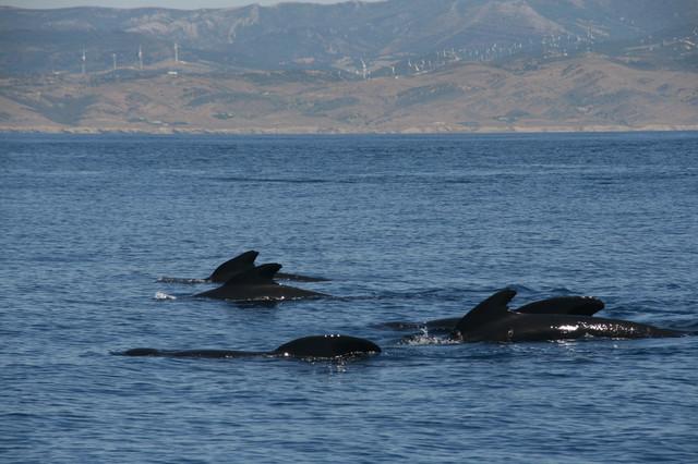 Equipo científico cooperará en análisis varamiento cetáceos