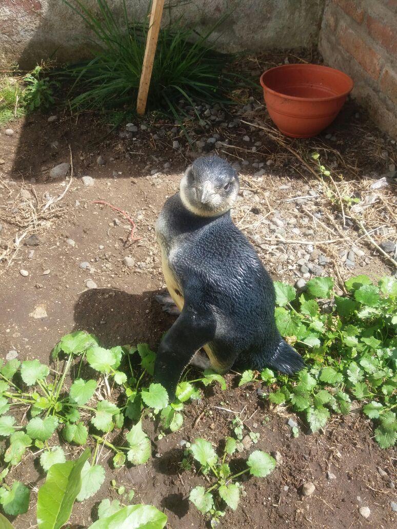 Pingüino Magallánico fue encontrado en las costas de Curanipe