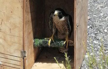 SAG Maule devolvió a su hábitat natural en la cordillera de Talca un halcón peregrino