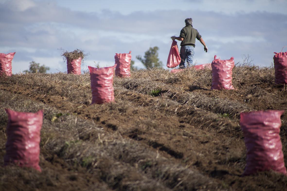 Millonaria inyección de recursos de Indap en apoyo a microproductores frente a la sequía y a la pandemia