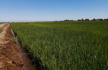 En Región del Maule Director Nacional INIA evaluó comportamiento de nueva variedad de arroz Digua CL