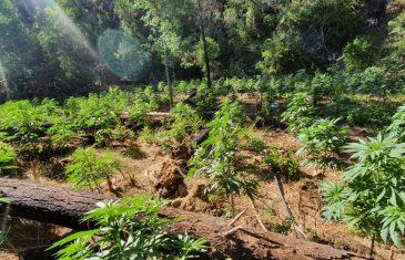 PDI decomisa más de 800 plantas de Cannabis Sativa en la comuna de Constitución