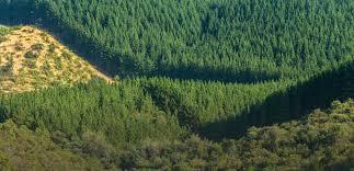Terrenos con plantaciones forestales bonificadas no tendrán ahora exención de impuesto territorial