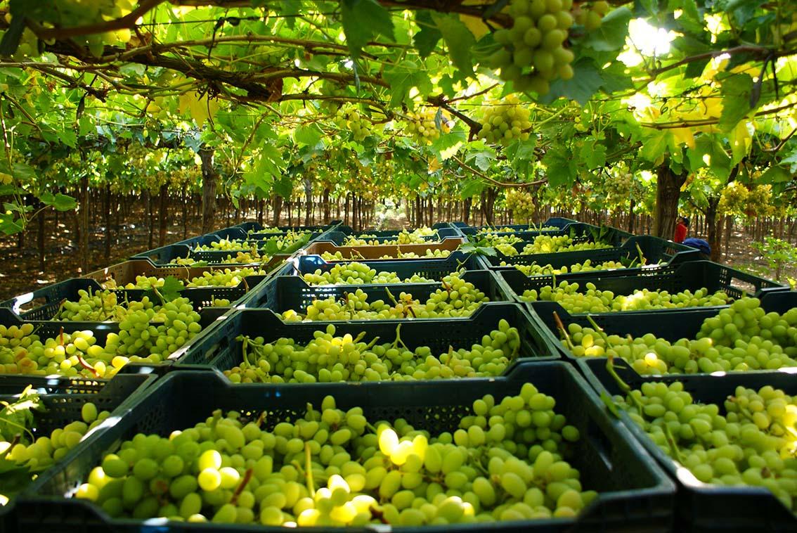 Periodo de postulación para la autorización de exportadoras de productos hortofrutícolas chilenos a la Federación Rusa
