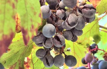 Especialistas INIA llaman a reforzar manejo sanitario de la uva y los frutales en el Maule