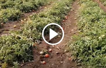 Estragos causó frente de mal tiempo a frutales y plantaciones en diferentes sectores de la comuna de Maule